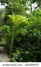 Amorphophallus paeoniifolius Arranged as a herbaceous plant such as rods or arrowroot Can last for many years With a height of about 5 feet, with the appearance of the trunk, rough skin, round stems a