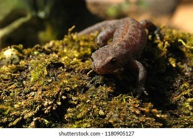 Amphibian The alpine newt Ichthyosaura alpestris