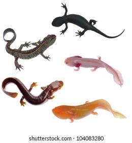amphibian animal newt salamander collection isolated on white