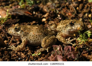 Amphibian The common midwife toad Alytes obstetricans