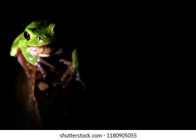 Amphibian European Tree Frog Hyla arborea