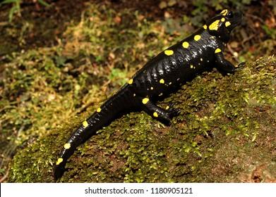 Amphibian The fire salamander Salamandra salamandra