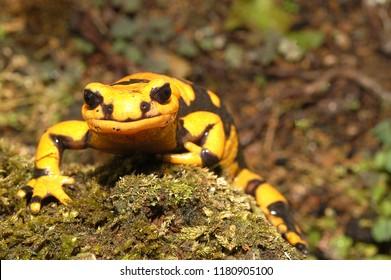 Amphibian Giglioli's Fire Salamander Salamandra salamandra gigliolii