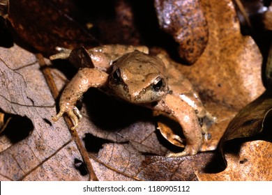 Amphibian  Italian Stream Frog Rana italica Dubois