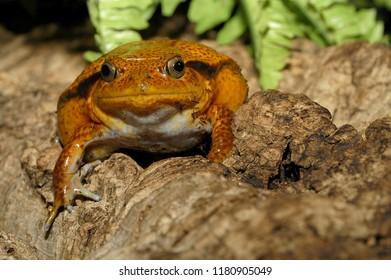 Amphibian The Madagascar tomato frog crapaud rouge de Madagascar Dyscophus antongilii