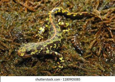 Amphibian The marbled newt Triturus marmoratus