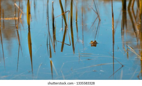 amphibian - Toads in the pond