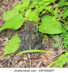 Amphibious animal toad. Gray toad lurking in the bright green leaves of the plant foalfoot in natural habitat.