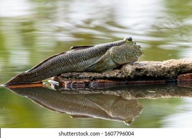 Amphibious fishamphibious fish in mangrove forest, Mudskipper Amphibious fish Oxudercinae in Thailand