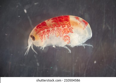 Amphipod from the waters around Disko Island in Greenland