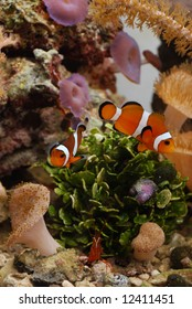 Amphiprion ocellaris clownfish amongst corals and peppermint shrimp