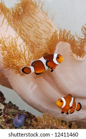 Amphiprion ocellaris clownfish amongst corals