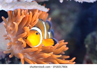 Amphiprion ocellaris clownfish in marine aquarium. Orange plants close-up. Colorful pattern, texture, wallpaper, panoramic underwater view. Concept art, graphic resources, macro photography. Nature