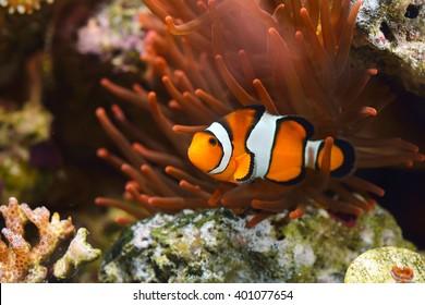 Orange Clownfish   Orange Clownfish Images Stock Photos Vectors Shutterstock