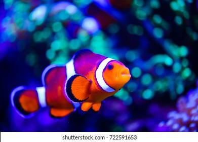 Amphiprion Ocellaris Poisson-Clown Dans L'Aquarium Marin. Les poissons clowns nagent autour de leur anémone hôte avec de l'eau bleue derrière. Photo d'un Poisson tropical sur une barrière de corail.