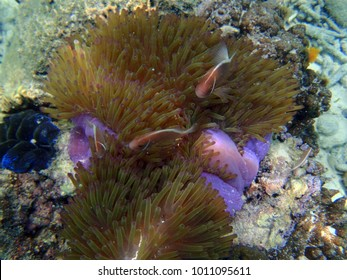 amphiprion perideraion fish on its anemone in Indonesia