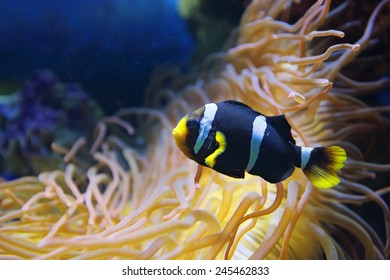 Amphiprion polymnus fish (black and white form), underwater photography