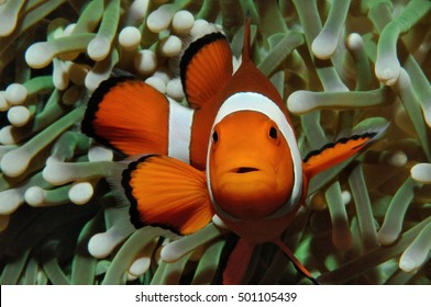 Amphiprion (Western clownfish (Ocellaris Clownfish, False Percula Clownfish)) is hiding in anemone, Puerto Galera, Philippines