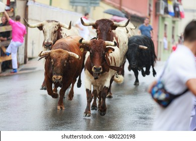 AMPUERO, SPAIN - SEPTEMBER 08: Bulls and people are running in street during festival in Ampuero, celebrated on September 08, 2016 in Ampuero, Spain