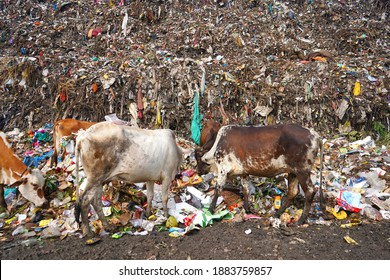 AMRAVATI, MAHARASHTRA, INDIA 12 OCTOBER 2020 : Cows searching food in a pile of garbage, Cows eating in garbage dump.
