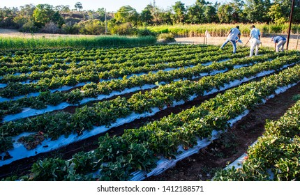 AMRAVATI, MAHARASHTRA, INDIA 25 FEBRUARY 2017 : Unidentified  farmer harvesting strawberry, gathering strawberries on a farm, An Indian farming scene.