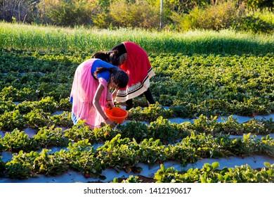 AMRAVATI, MAHARASHTRA, INDIA 25 FEBRUARY 2017 : Unidentified  Indian young girls harvesting strawberry, gathering strawberries on a farm, An Indian farming scene.