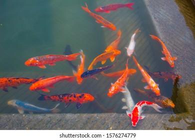 Amritsar, Punjab, India: November 28, 2019- group of red fish, Blue fish fish and a white fish swimming near bank of holy pond