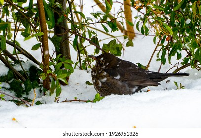 Amsel im Schnee in einem Strauch  - Shutterstock ID 1926951326