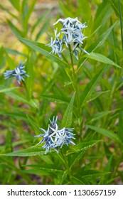 Amsonia orientalis or european bluestar blue flowers