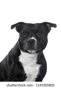 Amstaff dog portrait. Image taken in a studio with white background, isolated on white.