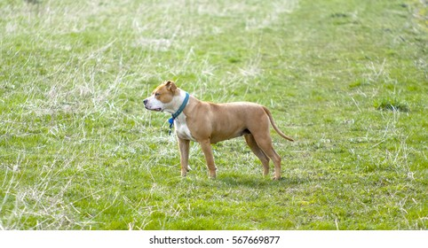 Amstaff dog posing on grass field