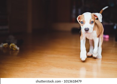 Amstaff puppy running in the house and toys are on the floor