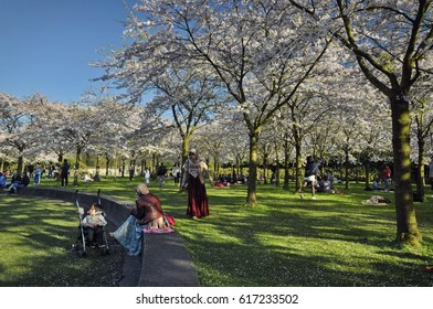 Amstelveen, Netherlands - April 2, 2017: View of the cherry trees of the Japanese garden in the Amsterdam Forest (Amsterdamse Bos), with visitors chilling under the shade.