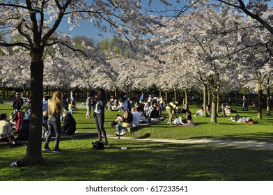 Amstelveen, Netherlands - April 2, 2017: Local visitors under the shade of the cherry trees of the Japanese garden in the Amsterdam Forest (Amsterdamse Bos)