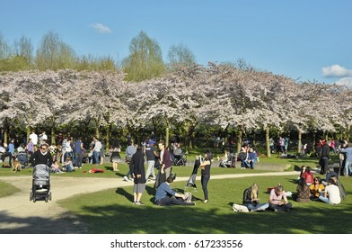 Amstelveen, Netherlands - April 2, 2017: Visitors chilling under the spring sun in the Japanese cherry tree garden in the Amsterdam Forest (Amsterdamse Bos)