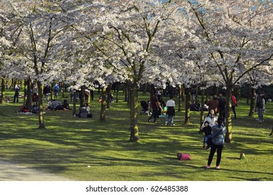 Amstelveen, Netherlands - April 2, 2017: Local visitors are enjoying the sunny weekend at the cherry blossom garden, in front of the Japanese cherry trees in the Amsterdam Forest (Amsterdamse Bos)