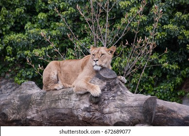 AMSTERDAM - APRIL 27, 2017. ARTIS Amsterdam Royal Zoo. Lioness resting on a tree