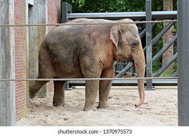 Amsterdam / Netherlands - 16/06/2017: Cute big elephant walking behind bars on the sand at the Artis Zoo in Amsterdam (the oldest zoo in the country).