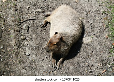 Amsterdam / Netherlands - 16/06/2017:  Cute capybara (Hydrochoerus capybara) sitting in the sunshine at the Artis Zoo. Sleepy capybara on the ground in the zoo. The biggest rodent in the world.