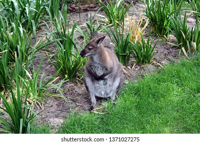 Amsterdam / Netherlands - 16/06/2017: A cute Wallaby sitting in the grass at the Artis Zoo in Amsterdam (the oldest zoo in the country).