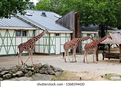 Amsterdam / Netherlands - 16/06/2017: Family of the giraffes walking at the Artis Zoo, the oldest zoo in the country.