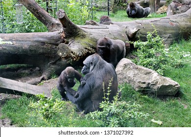 Amsterdam / Netherlands - 16/06/2017: Family of Western Lowland Gorillas chilling out in the Artis Zoo in Amsterdam (the oldest zoo in the country).