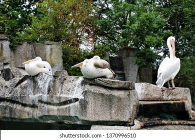 Amsterdam / Netherlands - 16/06/2017: Great White Pelicans (Pelecanus onocrotalus; also known as eastern white pelican, eastern white pelican or white pelican) sitting on the rocks at the Artis Zoo.