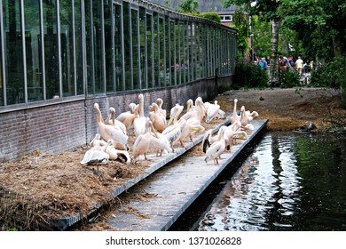 Amsterdam / Netherlands - 16/06/2017: Great White Pelicans (Pelecanus onocrotalus; also known as eastern white pelican, eastern white pelican or white pelican) standing near water at the Artis Zoo.