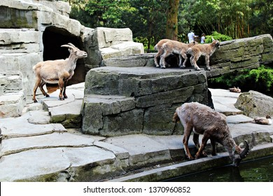 Amsterdam / Netherlands - 16/06/2017: Group of Alpine Ibex (also known as rocky-mountain goats) сlimbing the rocks at the the Artis Zoo, the oldest zoo in the country. Wild goats.