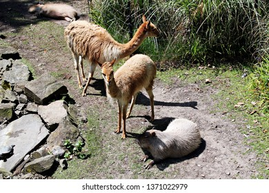 Amsterdam / Netherlands - 16/06/2017: Two Vicunas and a Capybara on the ground at the Artis Zoo in Amsterdam (the oldest zoo in the country).