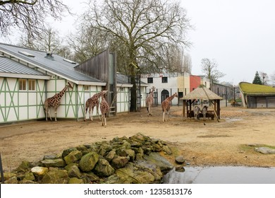 AMSTERDAM, NETHERLANDS - January 3, 2018: Giraffes and zebras at the Artis Zoo in Amsterdam.