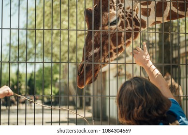 Amsterdam, The Netherlands - MAY 4 2018: Man is stroking giraffe at the Artis Zoo
