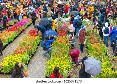 Amsterdam, North Holland / Netherlands - January 18, 2020: National Tulip Day in the Netherlands; members of the public are invited to collect free tulips for their gardens.