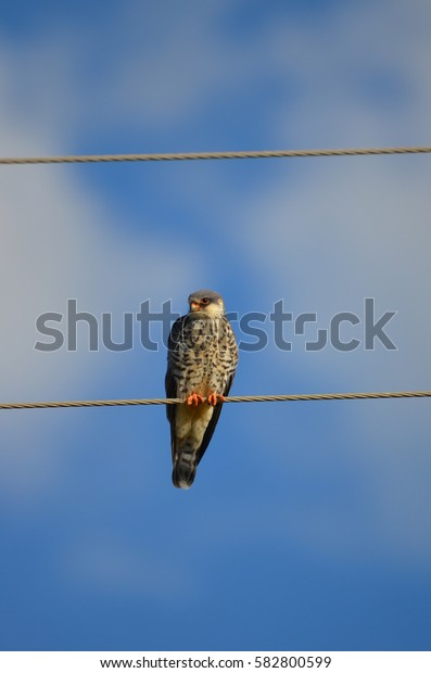 Amur Falcon / Eastern red footed Kestrel perched on a power line next to the road - South Africa